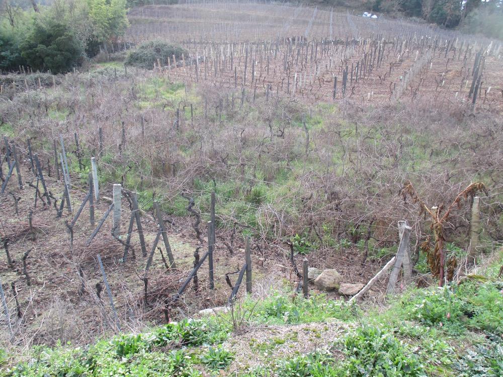 Parcela abandonada con viñas entre dos parcelas en producción.
