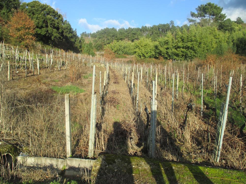 Lineas de viñas arrancadas entre viñas en producción.